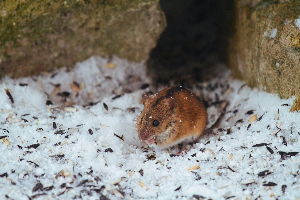 Juttselg-hiir