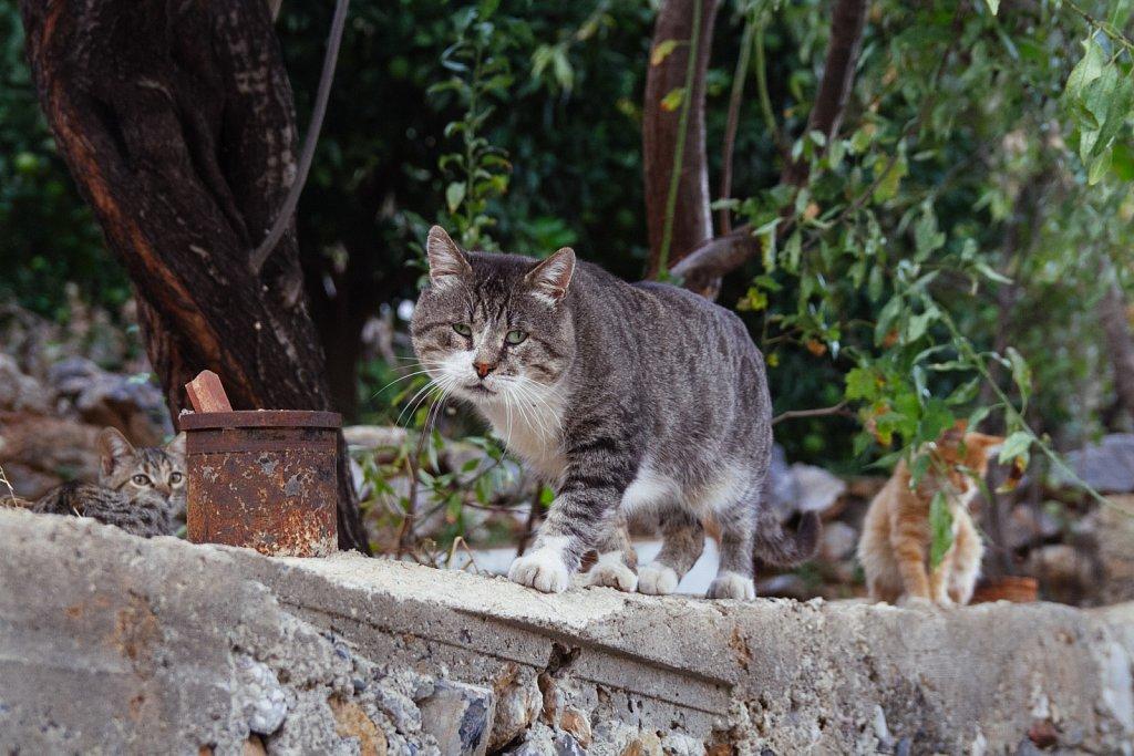 Türgi kodutud kassid